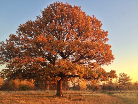 Tree in autumn, Bushy Park